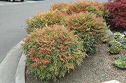 Sienna Sunrise Nandina (Nandina domestica 'Sienna Sunrise') at Oakland Nurseries Inc