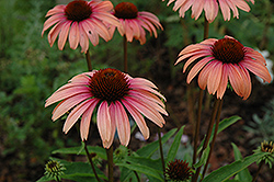 Big Sky Summer Sky Coneflower (Echinacea 'Big Sky Summer Sky') at Oakland Nurseries Inc
