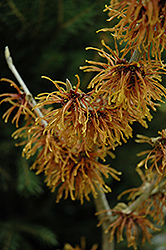 Jelena Witchhazel (Hamamelis x intermedia 'Jelena') at Oakland Nurseries Inc