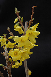 Show Off® Forsythia (Forsythia x intermedia 'Mindor') at Oakland Nurseries Inc