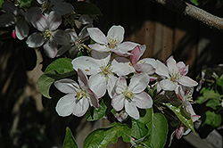 Jonathan Apple (Malus 'Jonathan') at Oakland Nurseries Inc
