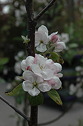 Fireside Apple (Malus 'Fireside') at Oakland Nurseries Inc