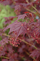 Tsukushigata Red Japanese Maple (Acer palmatum 'Tsukushigata') at Oakland Nurseries Inc