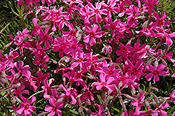 Scarlet Flame Moss Phlox (Phlox subulata 'Scarlet Flame') at Oakland Nurseries Inc