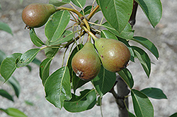 Moonglow Pear (Pyrus communis 'Moonglow') at Oakland Nurseries Inc