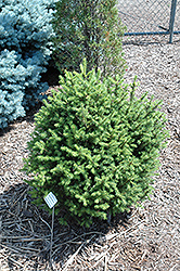 Sherwood Compact Norway Spruce (Picea abies 'Sherwood Compact') at Oakland Nurseries Inc