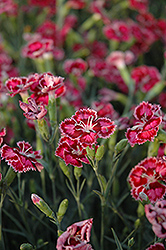Cranberry Ice Pinks (Dianthus 'Cranberry Ice') at Oakland Nurseries Inc