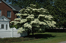 Chinese Dogwood (Cornus kousa) at Oakland Nurseries Inc