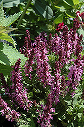 Sensation Rose Sage (Salvia nemorosa 'Sensation Rose') at Oakland Nurseries Inc
