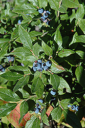 Lowbush Blueberry (Vaccinium angustifolium) at Oakland Nurseries Inc