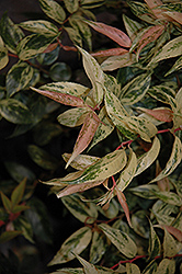 Rainbow Fetterbush (Leucothoe fontanesiana 'Rainbow') at Oakland Nurseries Inc