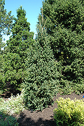 Columnar Norway Spruce (Picea abies 'Cupressina') at Oakland Nurseries Inc