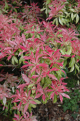 Valley Fire Japanese Pieris (Pieris japonica 'Valley Fire') at Oakland Nurseries Inc