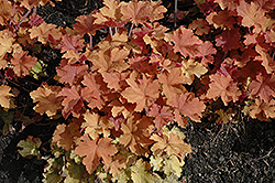 Caramel Coral Bells (Heuchera 'Caramel') at Oakland Nurseries Inc
