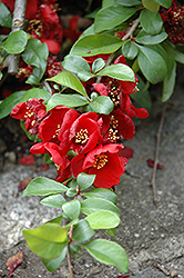 Crimson and Gold Flowering Quince (Chaenomeles x superba 'Crimson and Gold') at Oakland Nurseries Inc