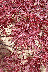 Red Dragon Japanese Maple (Acer palmatum 'Red Dragon') at Oakland Nurseries Inc