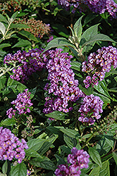Lo And Behold® Purple Haze Dwarf Butterfly Bush (Buddleia 'Lo And Behold Purple Haze') at Oakland Nurseries Inc