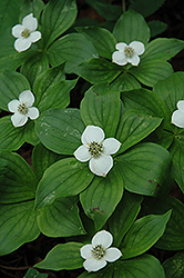 Bunchberry (Cornus canadensis) at Oakland Nurseries Inc