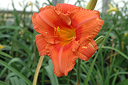 South Seas Daylily (Hemerocallis 'South Seas') at Oakland Nurseries Inc