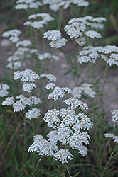 Common Yarrow (Achillea millefolium) at Oakland Nurseries Inc