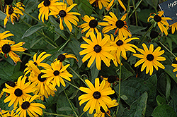 Pot Of Gold Coneflower (Rudbeckia fulgida 'Pot Of Gold') at Oakland Nurseries Inc
