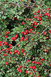 Cranberry Cotoneaster (Cotoneaster apiculatus) at Oakland Nurseries Inc