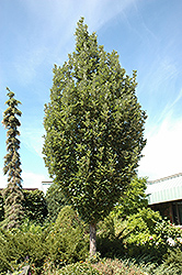 Crimson Spire Oak (Quercus 'Crimson Spire') at Oakland Nurseries Inc