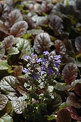 Purple Brocade Bugleweed Ajuga Reptans Purple Brocade
