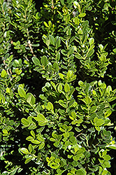 Baby Gem™ Boxwood (Buxus microphylla 'Gregem') at Oakland Nurseries Inc