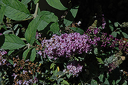 Lo And Behold® Lilac Chip Dwarf Butterfly Bush (Buddleia 'Lo And Behold Lilac Chip') at Oakland Nurseries Inc