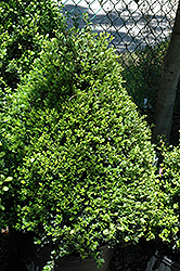 Compact Japanese Holly (Ilex crenata 'Compacta') at Oakland Nurseries Inc