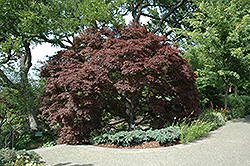 Burgundy Lace Japanese Maple (Acer palmatum 'Burgundy Lace') at Oakland Nurseries Inc