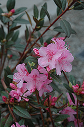 Aglo Rhododendron (Rhododendron 'Aglo') at Oakland Nurseries Inc