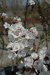 Sungold Apricot (Prunus 'Sungold') at Oakland Nurseries Inc