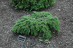 Gracilis Hemlock (Tsuga canadensis 'Gracilis') at Oakland Nurseries Inc