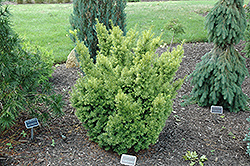 Dwarf Bright Gold Yew (Taxus cuspidata 'Dwarf Bright Gold') at Oakland Nurseries Inc