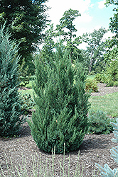Blue Point Juniper (Juniperus chinensis 'Blue Point') at Oakland Nurseries Inc