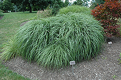 Adagio Maiden Grass (Miscanthus sinensis 'Adagio') at Oakland Nurseries Inc