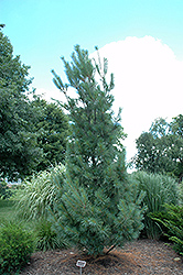 Columnar White Pine (Pinus strobus 'Fastigiata') at Oakland Nurseries Inc