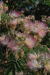 Rosea Mimosa (Albizia julibrissin 'Rosea') at Oakland Nurseries Inc