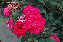 Red Double Knock Out Rose (Rosa 'Red Double Knock Out') at Oakland Nurseries Inc