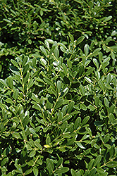 Franklin's Gem Boxwood (Buxus microphylla 'Franklin's Gem') at Oakland Nurseries Inc