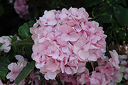 All Summer Beauty Hydrangea (Hydrangea macrophylla 'All Summer Beauty') at Oakland Nurseries Inc