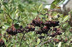 Autumn Magic Black Chokeberry (Aronia melanocarpa 'Autumn Magic') at Oakland Nurseries Inc