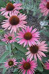 Mystical Pink Mist Coneflower (Echinacea purpurea 'Mystical Pink Mist') at Oakland Nurseries Inc