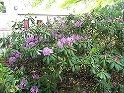 Maxecat Rhododendron (Rhododendron 'Maxecat') at Oakland Nurseries Inc