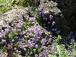 Rock Cress (Arabis caerulea) at Oakland Nurseries Inc