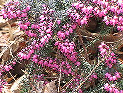 Spring Heath (Erica carnea) at Oakland Nurseries Inc
