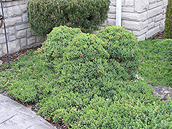 Dwarf Japgarden Juniper (Juniperus procumbens 'Nana') at Oakland Nurseries Inc