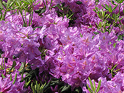 Lee's Dark Purple Rhododendron (Rhododendron catawbiense 'Lee's Dark Purple') at Oakland Nurseries Inc